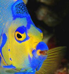Queen Angelfish, Grand Cayman. by David Heidemann