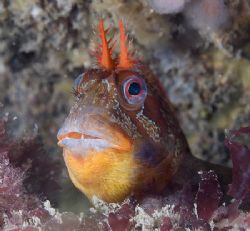 Tompot blenny. North Wales. by Derek Haslam