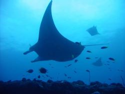 3 Manta's by Adrian Newell