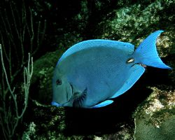 A calm cool collected Blue Tang by Peter Foulds