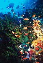 Anthias and Green Tube Coral. Turtle Wall. by Morgan Ashton