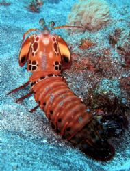 Mantis shrimp at Nusa Penida off Bali by Alex Lim