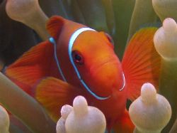 I cant resist shooting Nemo, GBR Aust. by Joshua Miles