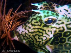 Finally i found out about the texture of the Cowfish....n... by Carlos Valenzuela
