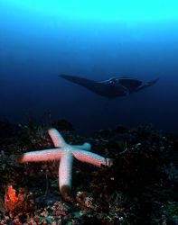 Manta and Starfish combo... by Alex Tattersall