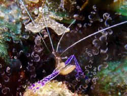Pederson's cleaner shrimp in a corkscrew anenome, The Sou... by Martin Spragg
