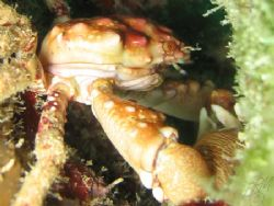 Red-Ridged Clinging Crab from Grand Cayman. Canon A70 wit... by Brian Mayes