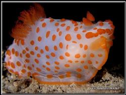 Funky long name for this Red-Papulose Gymnodoris.C5050 by Yves Antoniazzo