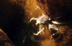 Anemone crab fishing for plankton, taken at Malong, Phi P... by Tobias Reitmayr