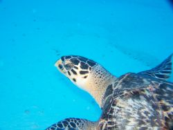 I love sea turtles. This dive off the Santa Rosa Wall in ... by Debbie Allen
