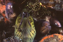 The Motley Crew! Four morays (of three species) and a shr... by Richard Smith