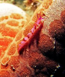 tiny little nudi is wandering around a seastar, found aro... by Mona Dienhart