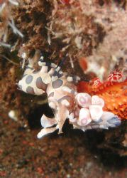 Harlequin Shrimp by Siew Ling Chang