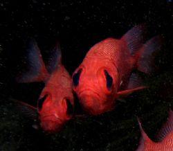 Soldierfish taken at Bida Nok, Phi Phi Island. The first ... by Tobias Reitmayr