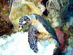 Turtle munching on a sponge seen August 2006 at East end ... by Bonnie Conley
