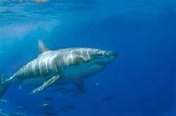 Great white shark @ Guadalupe Island by Andy Lerner
