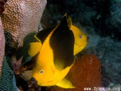 Rock beauties are generally very shy and hard to photo. U... by Zaid Fadul