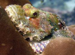 Bearded Scorpionfish at Bida Nok Bay, Phi Phi Island shot... by Tobias Reitmayr