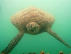 Friendly turtle,taken at Low Island Port douglas by Peter Simpson
