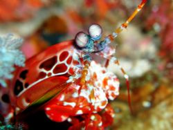 mantis shrimp by Siew Ling Chang