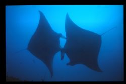 2 mantas caught during a dive in the maldives in 2006. by Andy Kutsch