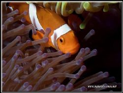 Looks like Mick Jagger pet clown fish. C5050 by Yves Antoniazzo