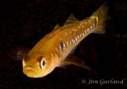 Two-spotted goby by Jim Garland