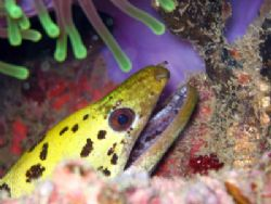 Undulated Moray, taken at Anemone Reef between Phuket and... by Tobias Reitmayr