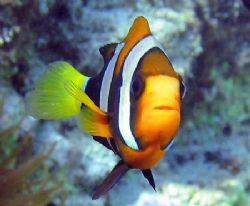 Clarkes Anemonefish ... minus the anemone. Ningaloo Reef. by Penny Murphy