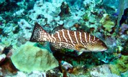 Grouper at Cayman Islands this August taken with a Canon ... by Bonnie Conley