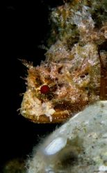 Scorpion fish taken with canon a95 by Bora Arda
