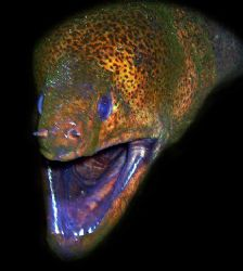 Giant Moray by Martin Dalsaso