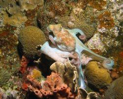 Octopus at night, shot with Canon G3, Ikelite strobe. by Jon Doud