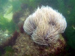 Sea anemone by Antoine Desbordes