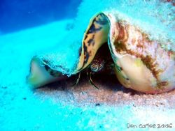 The shy Queen Conch at Hepp's Wall... by Carlos Valenzuela
