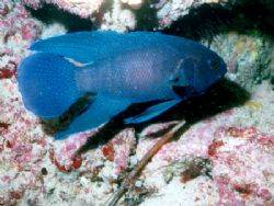 Western Blue Devil, taken at African Reef, Geraldton. The... by Natasha Tate