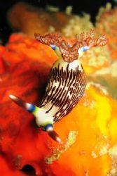Nembrotha Lineolata. Taken on my 100th dive in Tioman Isl... by Mohan Thanabalan
