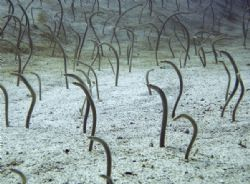 Garden Eels, there were literally thousands of them! by Alex Lim