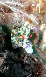 Hypselodoris Obscura by Siew Ling Chang