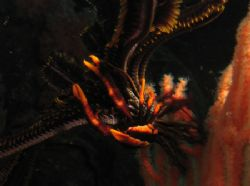 """""""Featherstar crab"""" on Phi Ley Wall, Phi Phi Islands. It t... by Tobias Reitmayr"""