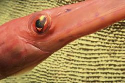 Have you ever seen a Trumpet Fish so close up? It was a l... by Alice Lee