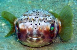Juv. Ballonfish, I love his almost crown of spines and th... by Anna Kinnersly