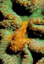 Hairy Frogfish on fluorescing corals. D2x, 60mm by Rand Mcmeins
