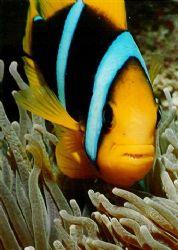 Clarkes Anemonefish, taken at Mana Island Fiji by Peter Simpson