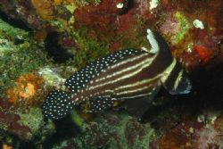 Spotted drum fish, Curacao by Jon Doud