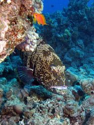 Grouper taken at Sharksbay with Olympus SP350. by Anel Van Veelen