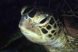 turtle in nith diving by Virga Riccardo