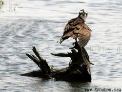An Osprey giving me a goofy look. They are renowned for t... by Zaid Fadul