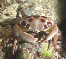 Small noucternal crab, taken aboard the Bilikiki March 20... by Marylin Batt