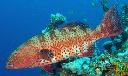 Coral Grouper off Sharm, Olympus SP-350, Sea&Sea YS-25 st... by Carl Wrightson